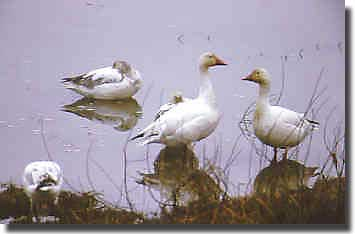 Snowgeese found on the Mackenzie River