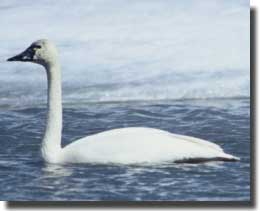 The Tundra Swan found on the Mackenzie River